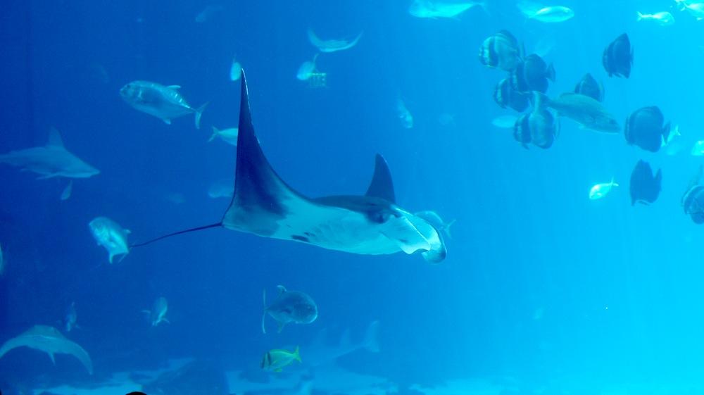 Georgia Aquarium - rays